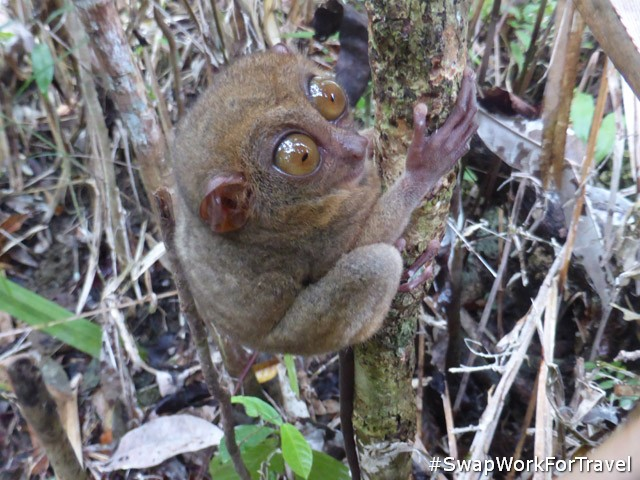 Bohol Tarsier Sanctuary, near our Swap in Philippines